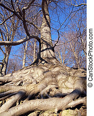 Tree with roots blanket - Old tree with overground roots...