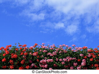 Geranium - Red and pink flowering geraniums against the blue...