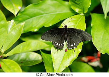 A common rose butterfly perched on a leaf