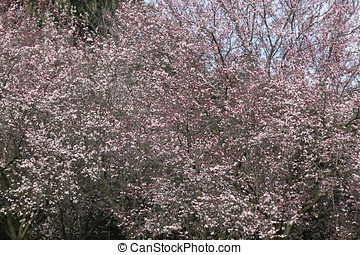 Spring flowering trees, Rome, Italy, southern Europe
