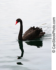 Black Swan - Black swan swim in lake in Lake Eola in...