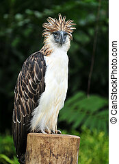 Philippine Eagle also known as Monkey-eating eagle