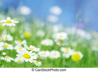 spring flowers - Daisy flowers blue ky and a sunny...