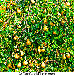 pear tree - pear-tree, closeup
