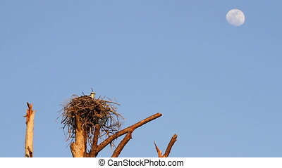 Osprey Flying From Nest - Osprey sits perched on nest made...