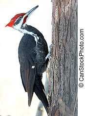 Pileated, pájaro carpintero