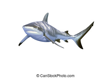 Grey Reef Shark - a large grey reef shark showing the mouth...