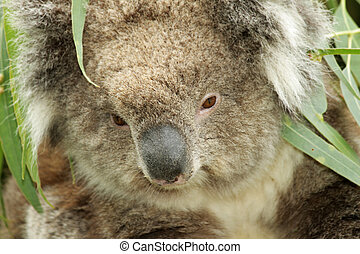 koala portrait closeup