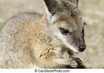 wallaby, closeup