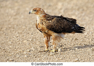 Tawny eagle Aquila rapax sitting on the ground, Kalahari...