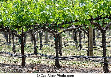 Grapevine in Spring