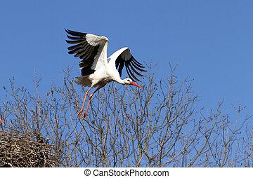 White stork - details of a white stork in flight