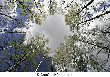 Circle of awakening birches and spring sky