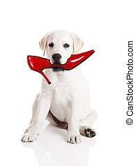 Biting the shoe - Labrador retriever with a res shoe in his...