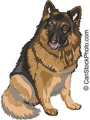 pastor, Esboço, cor, raça, cão, alemão, vetorial