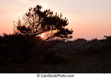 Sunset behind a Monterey pine tree at Asilomar State Park in...