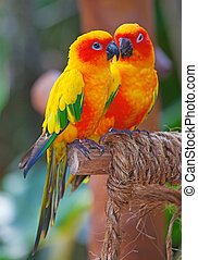 Aratinga Solstitialis - Colorful family of the Aratinga...