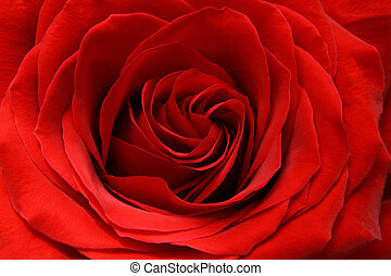 red rose - beautiful red rose background