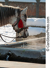 A drinking white horse - A white horse is drinking at a...