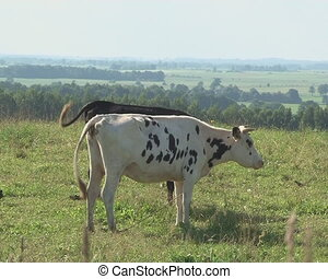 cow graze pasture meadow - Cows graze in pasture meadow and...