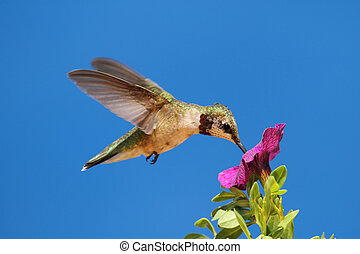 joven, Ruby-throated, Colibrí, (archilochus,...