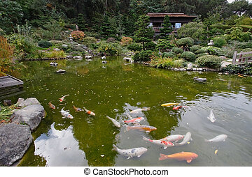 A small pond with goldfish in a Japanese garden in Saratoga