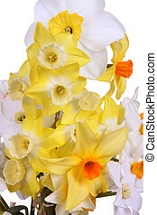 Close-up of brightly colored daffodils forming an informal spring bouquet of orange, red, yellow and white isolated against a white background
