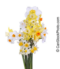 Multiple stems of brightly colored daffodils form an informal spring bouquet of orange, red, yellow and white isolated against a white background