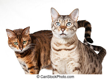 Two Bengal kittens looking shocked and staring - Bengal cat...