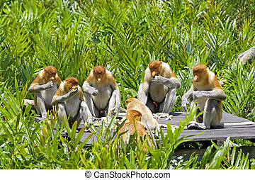 Proboscis monkeys eating in the mangrove, Kota Kinabalu