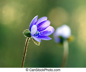 Anemone hepatica - Close up of Anemone Hepatica (liverleaf,...