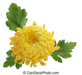 Chrysanthemum and Leaves isolated on white