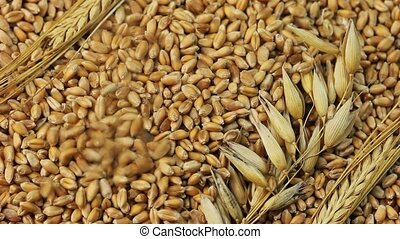 Grain - Falling grains of wheat
