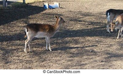 two deers - farm video illustration