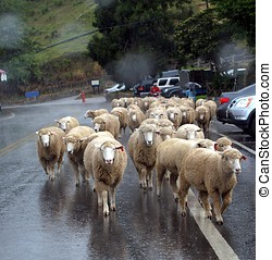 Sheep Walking in the Rain - A herd of sheep returns from the...