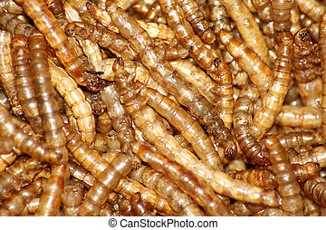 Mealworms - Collection of mealworms