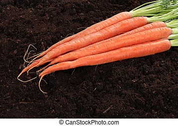 Fresh picked carrots - closeup of Fresh picked carrots