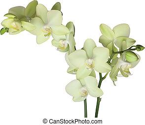 Yellow beautiful orchid - Yellow beautiful phalaenopsis...