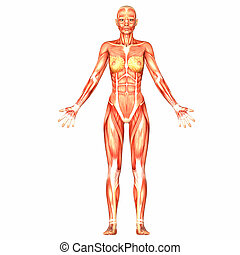 Female Body Anatomy - Illustration of the anatomy of the...