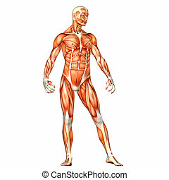 Male Body Anatomy - Illustration of the anatomy of the male...