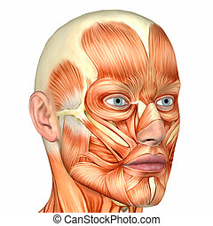 Male Face Anatomy - Illustration of the anatomy of the male...