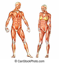 Male and Female Human Body Anatomy - Illustration of the...