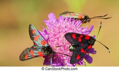 Butterflies Elcysma westwoodii, on a flower