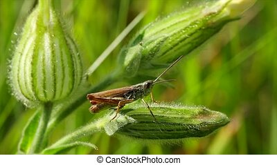 grasshopper on a blade of grass