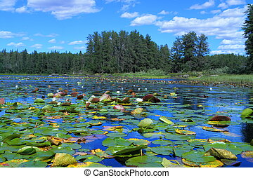 Lake with water lilies - White water lilies floating in...