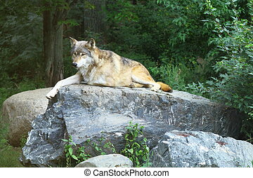 Wolf resting on the stone in Northern Minnesota