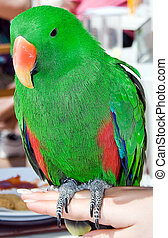 Colorful eclectus parrot sits on a hand