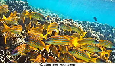 Big school of fish - Big yellow school of fish in The Indian...