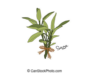 Sage - An illustration of a bunch of gray green sage tied...