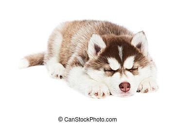 sleeping Siberian husky puppy dog - one sleeping Siberian...
